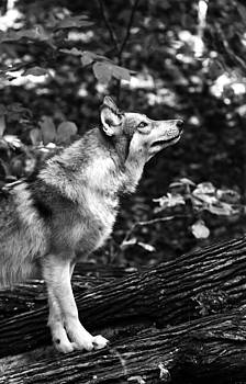 Aero Wolf in Black and White by Tracy Winter