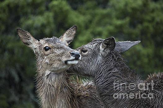 Affectionate Mates by Douglas Barnard