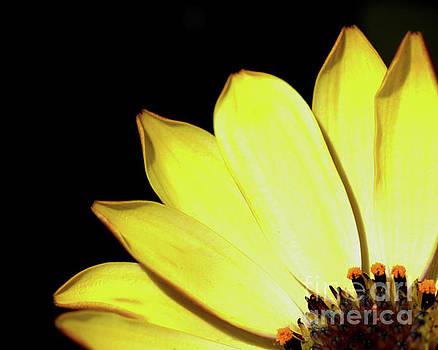 African Daisy Osteospermum by Baggieoldboy