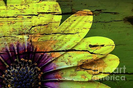 African Daisy with Style by Debbie Green