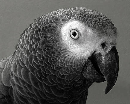 African Gray by Sandi OReilly