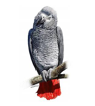 African Grey Parrot C by Owen Bell
