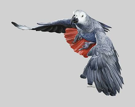 African Grey Parrot Flying by Owen Bell