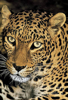 Dave Welling - african leopard panthera pardus captive wildlife rescue