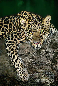 Dave Welling - african leopard panthera pardus wildlife rescue