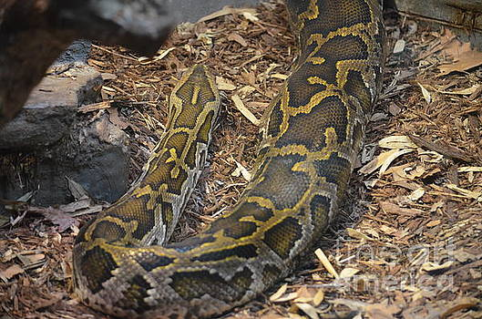Maria Urso - African Python 2