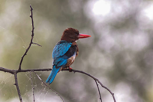 Ramabhadran Thirupattur - After the Dive - White-throated kingfisher