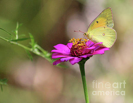 Afternoon with an Orange Sulphur Butterfly by Karen Adams