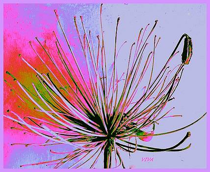 Agapanthus In The Pink by VIVA Anderson