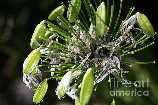 Ageing Of Agapanthus by Joy Watson