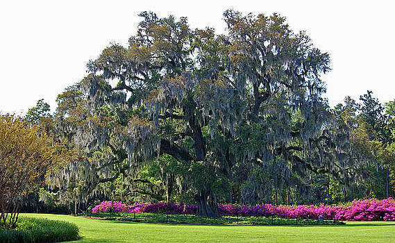 Airlie Oak In The Spring by Cynthia Guinn