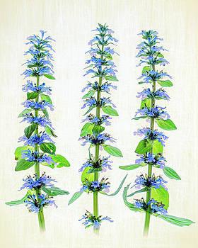 Ajuga blooms by Robert FERD Frank