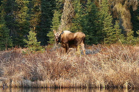 Alaskan Moose Feeding on Lake Shore by Wyatt Rivard