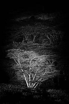 Albezia Tree by Roger Mullenhour