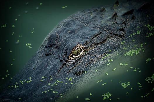 Alligator  by Alicia Morales