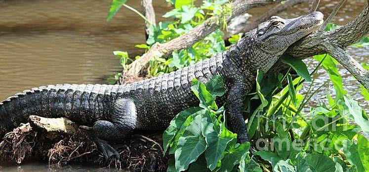 Paulette Thomas - Alligator Chillin