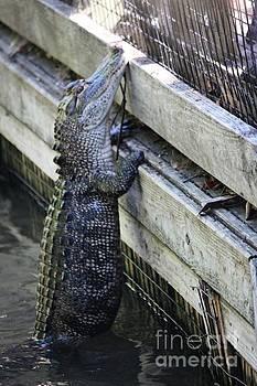 Paulette Thomas - Alligator Climbing Fence