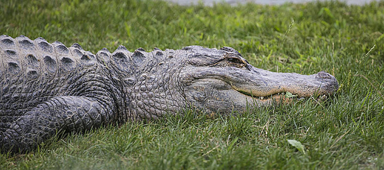 Alligator by Michel DesRoches