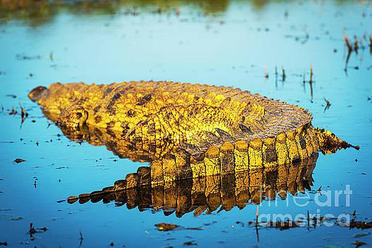 Tim Hester - Alligator on Chobe River