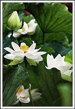 Sacred Lotus plant by Geraldine Scull