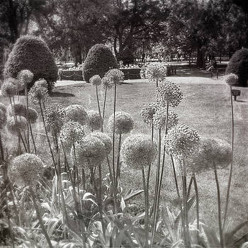 Allium Purple Flowers in the Boston Public Garden by Joann Vitali
