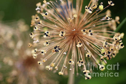 Allium Seeds by Karen Adams