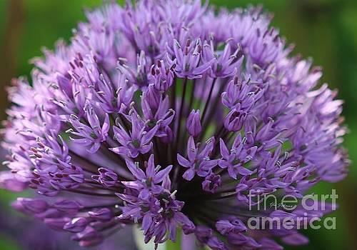 Alliums by Yumi Johnson