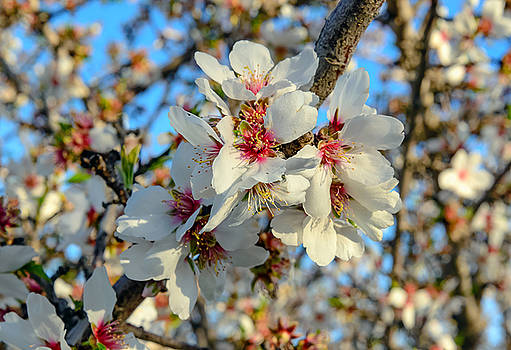 Almond Blossoms by Mike Ronnebeck