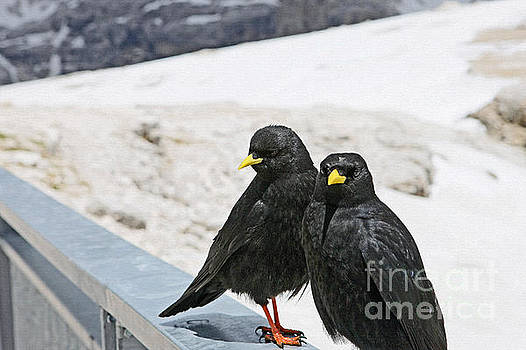 Alpine Choughs by Liz Alderdice