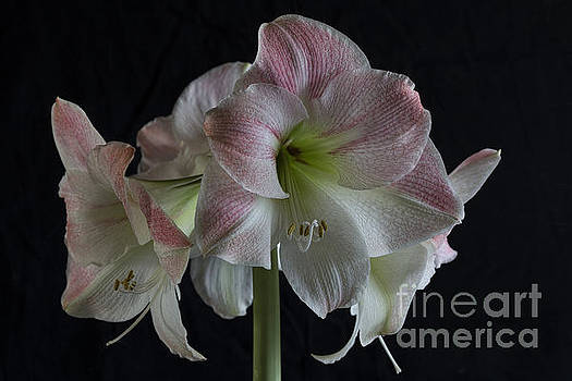 Elena Nosyreva - Amaryllis full bloom