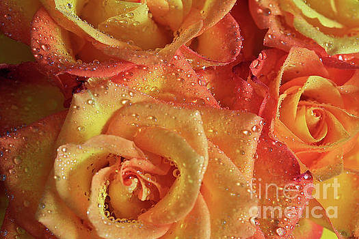 Amber and Ember Roses by Tracy Hall