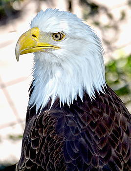 American Bald Eagle by Amy McDaniel