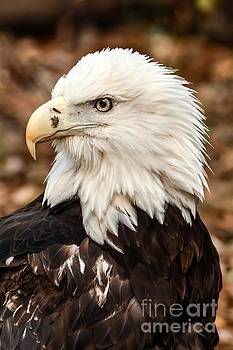 American Bald Eagle by Debbie Green
