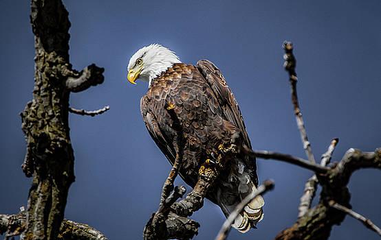 American Bald Eagle by Ray Congrove