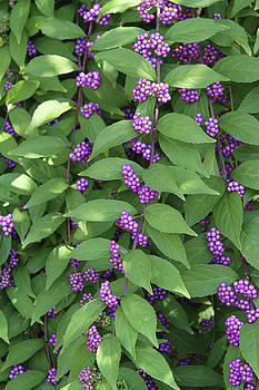 American Beautyberry by Judy Whitton