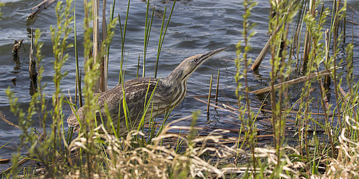 American Bittern hunting by Don Anderson