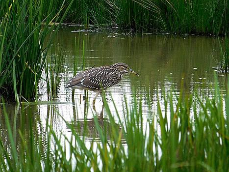 Black Crowned Night Heron Hunting Sandy Ridge Ohio by Nancy Spirakus