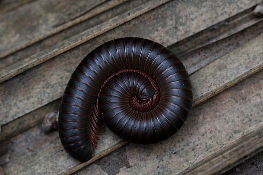 American Giant Millipede by April Wietrecki Green