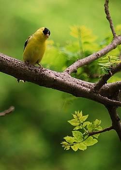 Joy Bradley - American Goldfinch