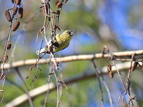 Wingsdomain Art and Photography - American Goldfinch