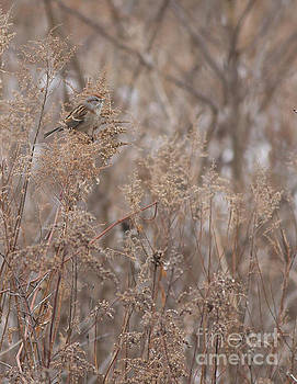 American Tree Sparrow by Natural Focal Point Photography