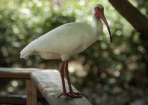American White Ibis by Jason Moynihan