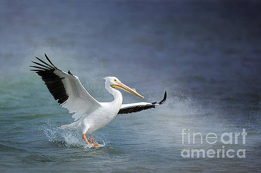 American White Pelican  by Bonnie Barry