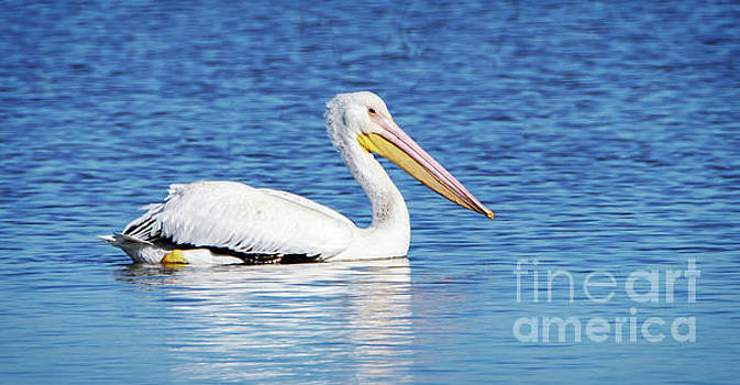 American White Pelican by Charles Dobbs