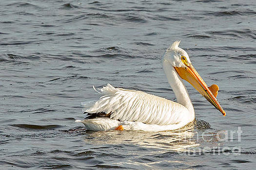 American White Pelican in Spring by Natural Focal Point Photography