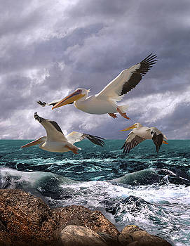 American White Pelicans by IM Spadecaller