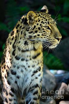 Amur Leopard by Deb Halloran