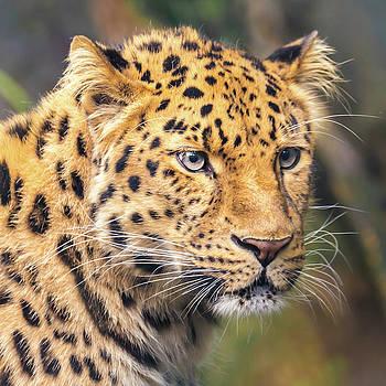 Amur Leopard by Jim Hughes
