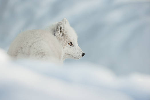 An Arctic Fox in Snow. by Andy Astbury