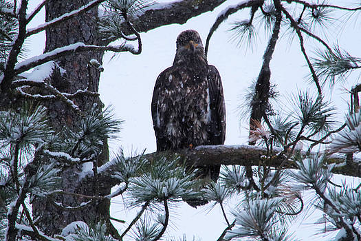 An eagle gazing through snowfall by Jeff Swan